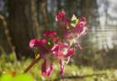 Hohlknolliger Lerchensporn (Corydalis cava)