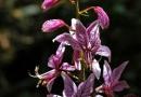 Diptam (Dictamnus albus)