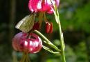 Tükenbundlilie (Lilium martagon)