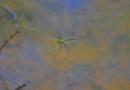 Libelle: Blaugrüne Mosaikjungfer (Aeshna cyanea)